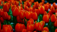 Tulips in garden video