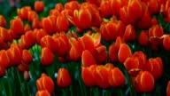 Tulips in garden video
