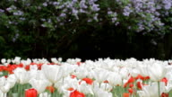 Tulips in the park video