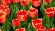 Tulips video
