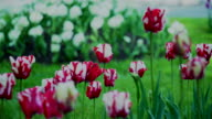 tulips with water drops video