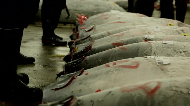 Tuna Auction in Japan.  Buyers inspecting tuna at the morning auction video