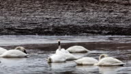 Tundra Swan, Cygnus columbianus, feeding on pond video