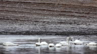 Tundra Swan, Cygnus columbianus, feeding video