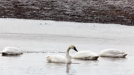 Tundra Swan, Cygnus columbianus, in early spring video