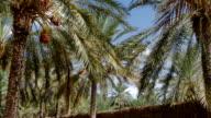 Tunisia, date palm cultivation video