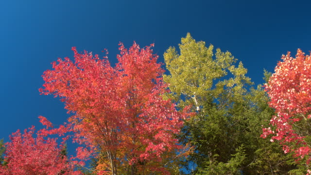 SLOW MOTION Turning leaves on tree moving in soft autumn breeze against blue sky video