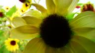 Turning Sunflower video