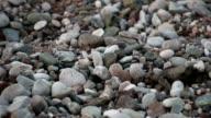 Turtle Baby (Caretta Carretta ) Crawls To The Sea. Cirali, Turkey video
