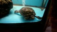 Turtle in aquarium video