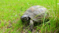 turtle on grass video