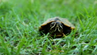 Turtle on green grass video