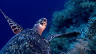 Turtle on Red Sea reef deep blue video