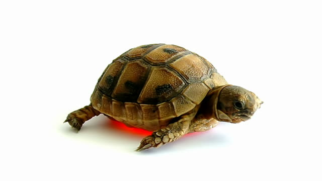 Turtle on white background video