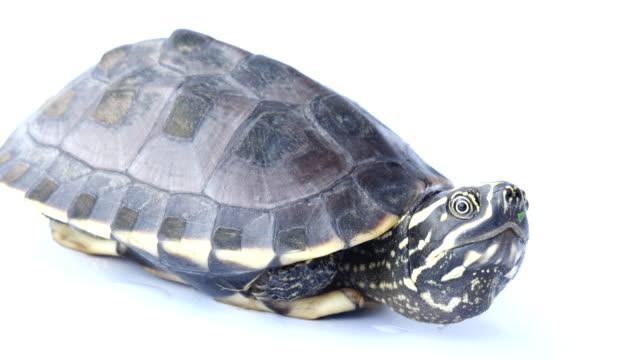 Turtle on white video
