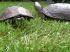 Turtle running away from her partner. video