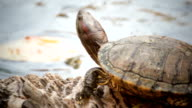 turtle sicence names, Red-eared slider or 'Trachemys scripta elegans' panning shot in HD video