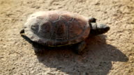 turtle slowly walking by dry ground video
