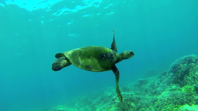 Turtle Swimming Underwater video