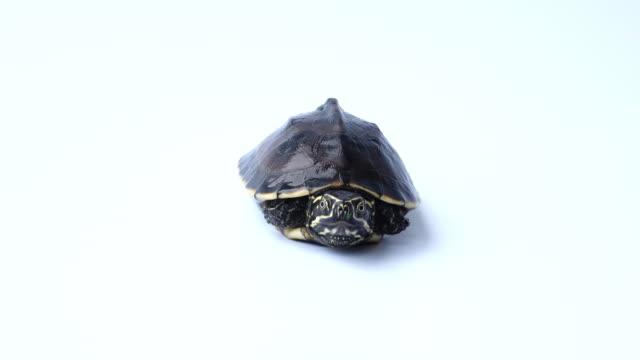 Turtle video