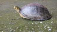 Turtle walks on concrete. video