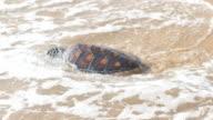 Turtles crawl to freedom video