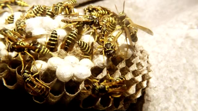 Twenty Wasps Clean Honeycomb and Feed Larvae Super Macro video
