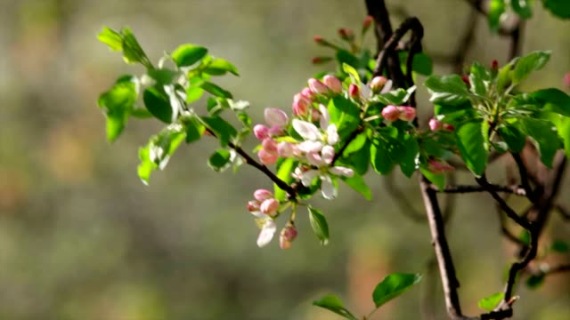 Twig with sunlit pink apple blossom trusses and new green leaves, waving in the spring light wind. video