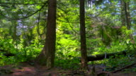 Twin Red Cedar Trees in Lush Green Rainforest, Moss and Ferns in Spring video