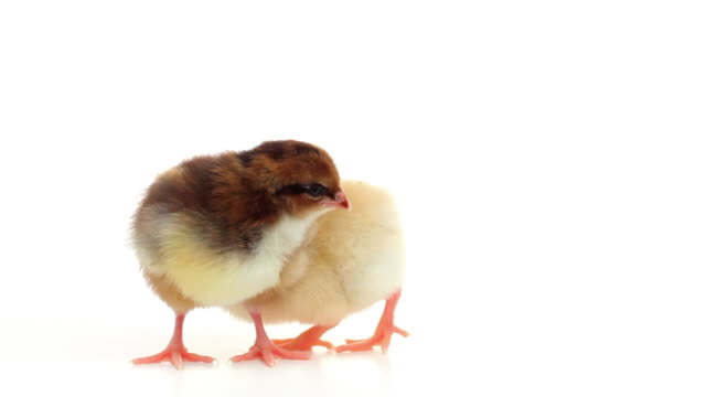HD two baby chicks isolated on white video