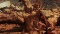 Two baby monkeys play-fight. True slow motion. video