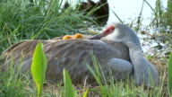 Two Baby Sandhill Cranes Hide Under Mom's Wing in Nest video
