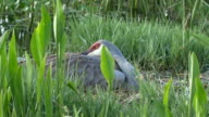 Two Baby Sandhill Cranes Pop-Up From  Under Mom's Wing in Nest video