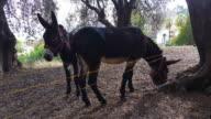 Two Beautiful Brown Donkeys video