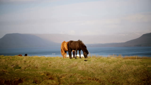 Two beautiful Icelandic horse eating graze, grazing on the field. Farm or ranch outside the city with wild animals video