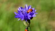two beautiful  ladybug ladybird on cornflower blossom video