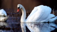 Two beautiful white swans. video