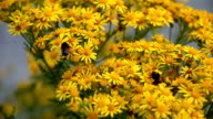 Two bees collecting nectar from yellow ragwort flowers video