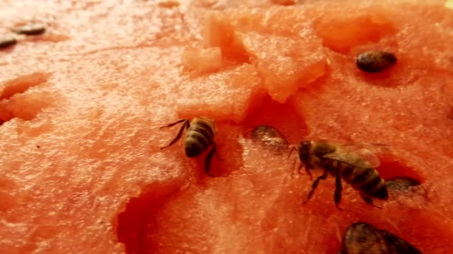 Two Bees Drink Nectar on Water-Melon and Fly Away Macro video
