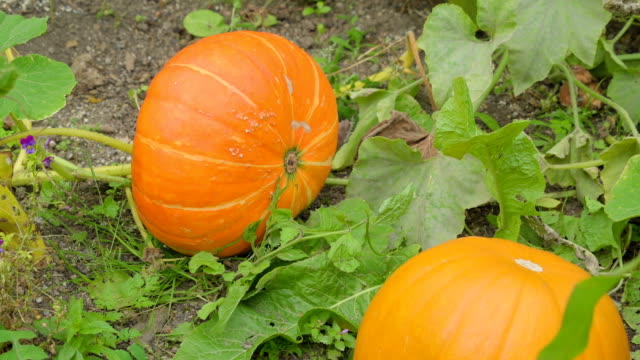 Two big calabaza on the ground in the garden video