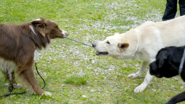 Two big dogs pulling each other the string on their mouth video
