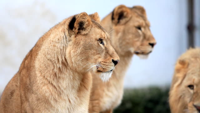 Two big female lions. video
