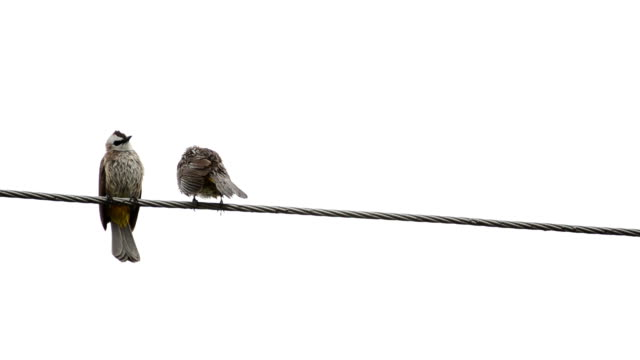 Two birds wet on a wire video