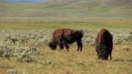 Two bison video