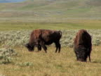 NTSC: Two bison video