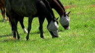Two Blind Horses Grazing In A Field (HD 1080p30) video