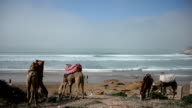 Two camels and a horse eating grass and surfers surfing video