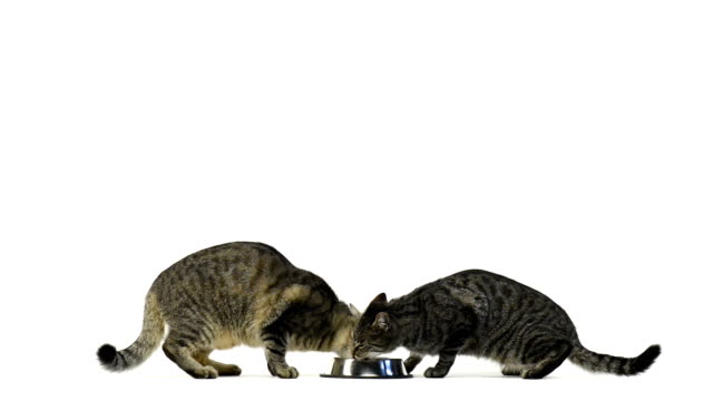 Two cats eating in a bowl video