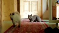 Two cats in a hallway video