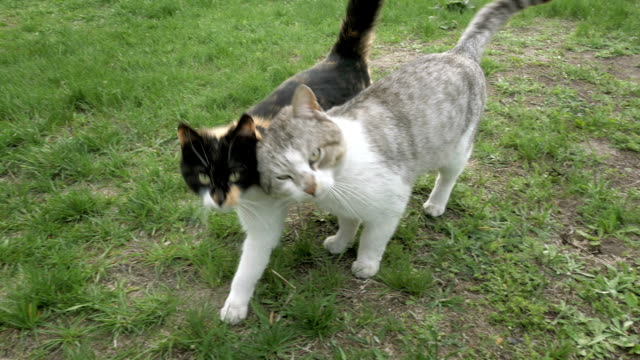 Two cats in love fondly tenderly touching walking video